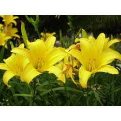 Hemerocallis flava Lemon Lily
