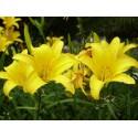 Gelbe Taglilie Hemerocallis flava
