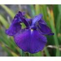 Japanische Wasser-Schwertlilie 'Loyolty' Iris Ensata