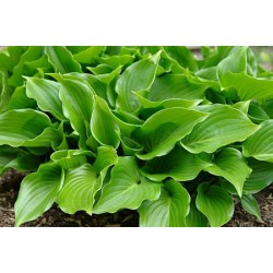 Garten-Funkie  Invincible  Hosta