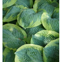 Garten-Funkie Frances Williams Hosta