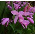 Japan-Orchidee  Bletilla striata