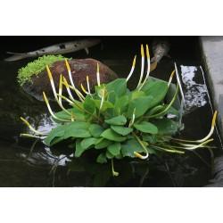 Goldkeule  Wasser Orontium  Orontium aquaticum