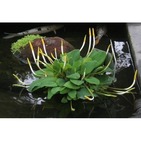 Wasser Orontium , Orontium aquaticum