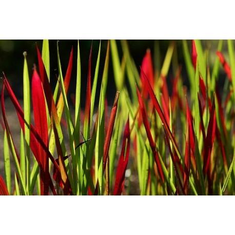 Japanisches Blutgras 'Red Baron' Imperata cylindrica