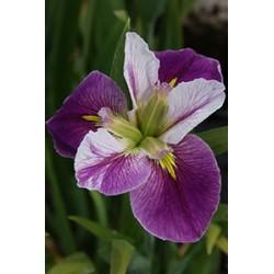 "Louisiana-Iris ,Iris louisiana ""Colorofic"""