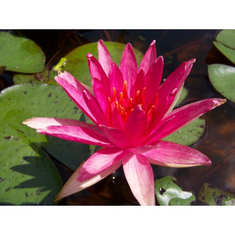 Seerose Nymphaea 'Red Spider'