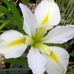 Iris Louisiana Arabian bayou