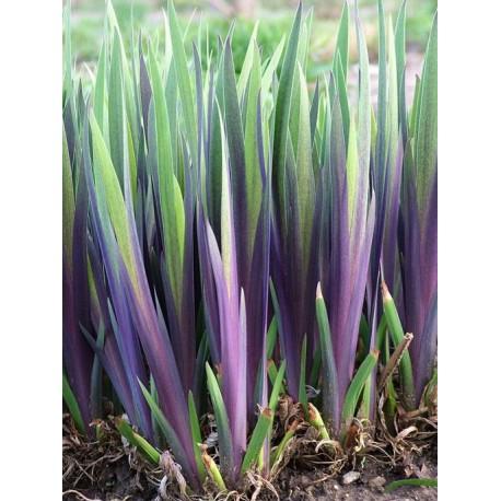 Iris versicolor  Dark Aurora