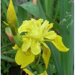 Sumpf Schwertlilie  Iris Pseudacorus Flore Pleno