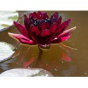 Seerose Nymphaea Black Princess