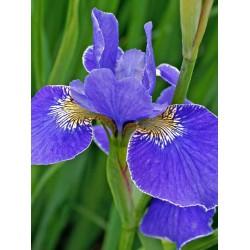 Siberische Schwertlilie Silver Edge Iris sybiryca