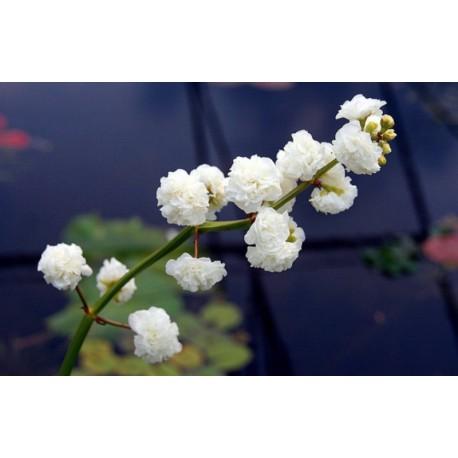 Sagittaria sagittifolia 'Flore Pleno' Gefüllte Pfeilkraut