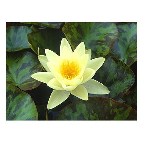 Water Lily 'Chromatella Nymphaea 'Marliacea Chromatella'