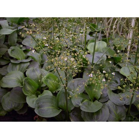 Rundblättriger Froschlöffel Alisma parviflora