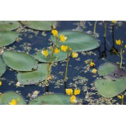 Gewöhnlicher Wasserschlauch ,Utricularia Vulgaris