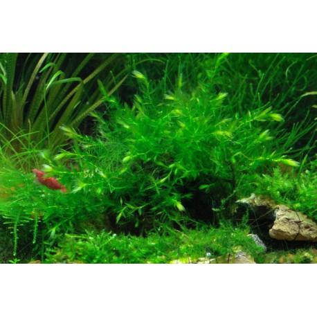 Willow Moss / Fontinalis antipyretica