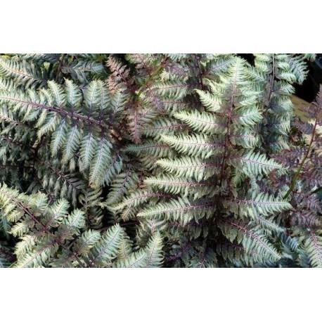 Japanischer Regenbogenfarn Athyrium niponicum var. pictum 'Pewter Lace'