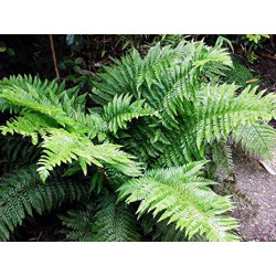 Glanz-Schildfarn Polystichum aculeatum