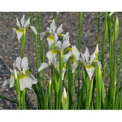 Sibirische Schwertlilie - Iris sibirica 'Snow Queen' - weiß