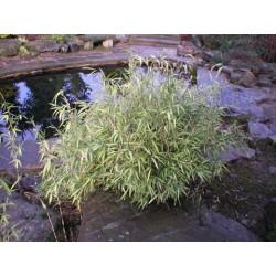 Pleioblastus shibuyanus (variegatus) 'Tsuboi' buntblättriger Zwergbambus