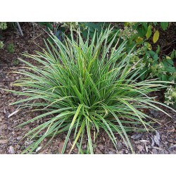 Japan-Segge (Carex morrowii) 'Ice Dance'