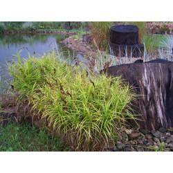 Palmensegge Carex muskingumensis  Aureovariegata
