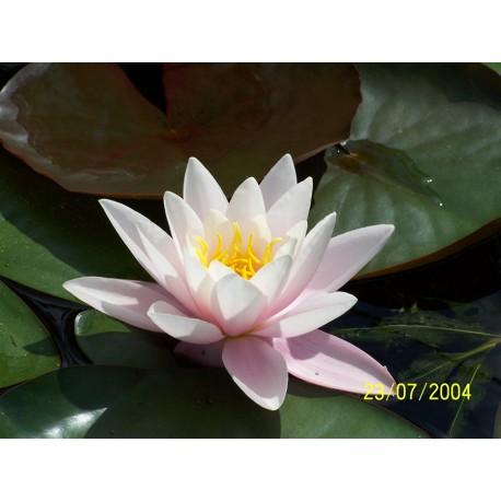 Water Lily 'Carnea Nymphae Marliacea Carnea'