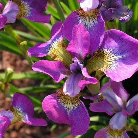 Sibirische Schwertlilie - Iris sibirica 'Sparkling Rose'