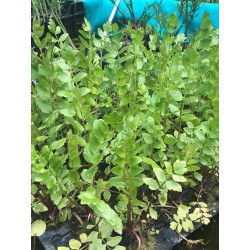Breitblättriger Merk  (Sium latifolium)