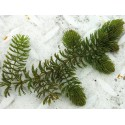 Gemeines Hornblatt Ceratophyllym demersum