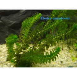 Kanadische Wasserpest Elodea canadensis