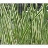 Acorus calamus variegatus Bunter kalmus