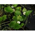 Sumpfkalla Calla palustris