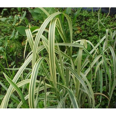 Gliceria maxima Variegata